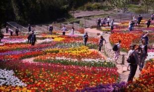 Почти 13 тыс человек посетили парад тюльпанов в Никитском ботсаду за выходные